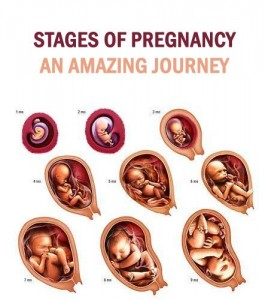 pregnancy-stages